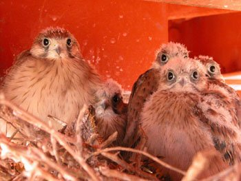 Nankeen Kestrel chicks in nest