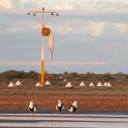 Banded Stilts at threshold of runway
