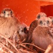 Nankeen Kestrel chicks in nest