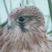 Nankeen Kestrel just fledged