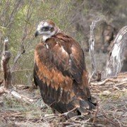 Wedge-Tailed Eagle chick in nest (1)