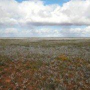 Fields of Everlastings