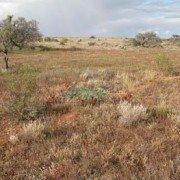 Sturts Desert Peas (2)